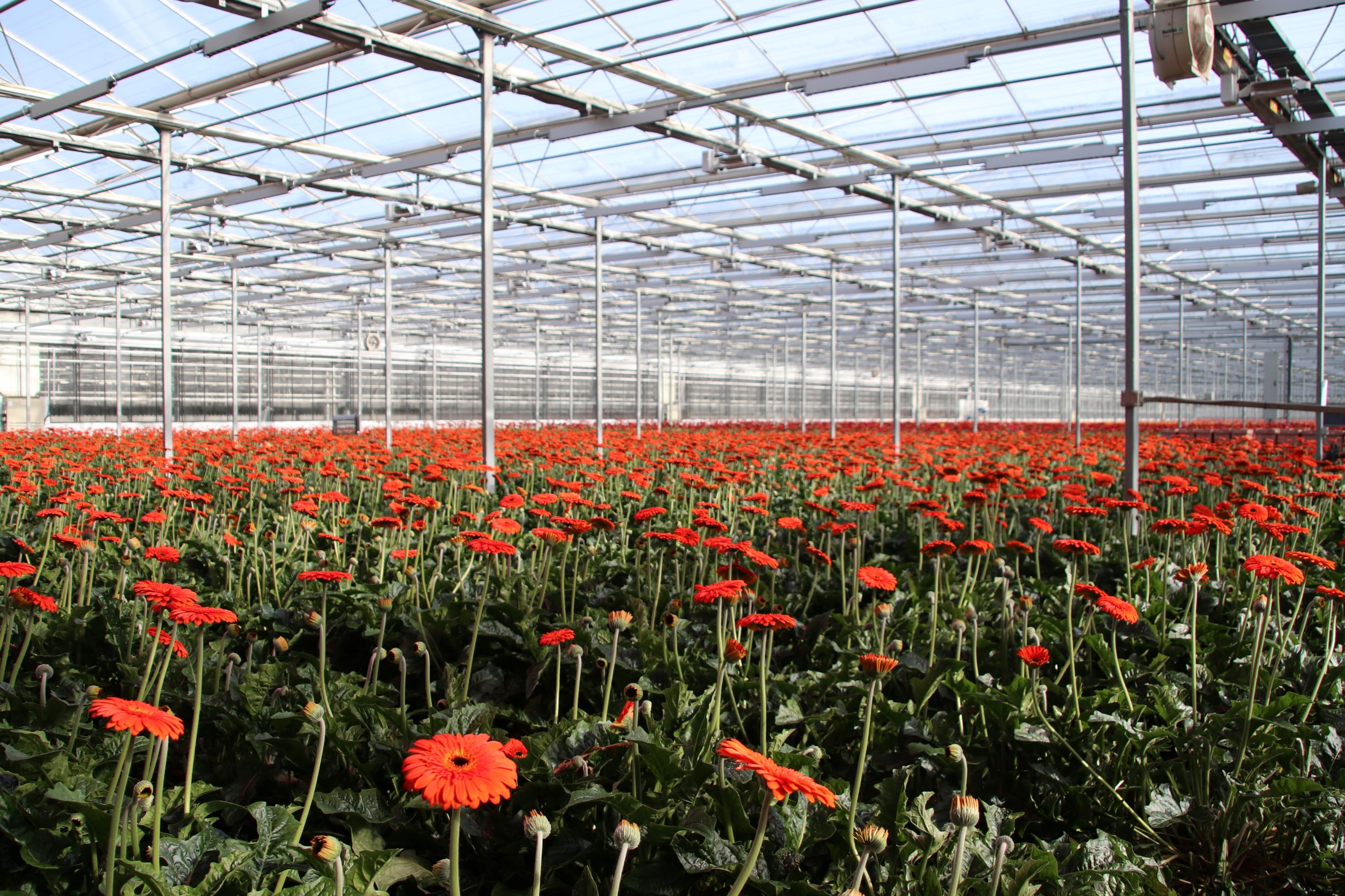 FLOWER Field-of-gerbera-flowers-in-a-greenhouse-in-Nieuwerkerk-944818216_5649x3766 (small)