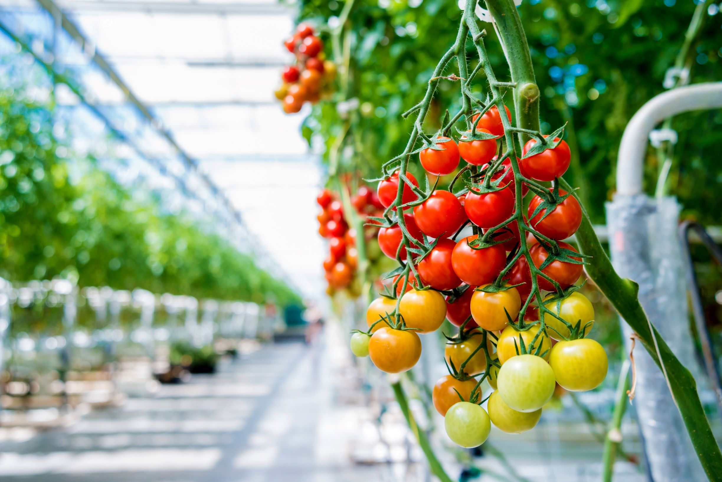 TOMATOES (low res) shutterstock_1104450200